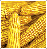 Corn or Maize Seeds